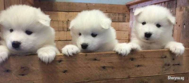 Kennel Club Registered Samoyed Puppies | Pets for sale in