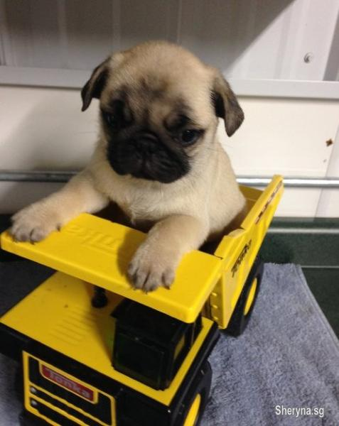 Male and pug puppies for Adoption