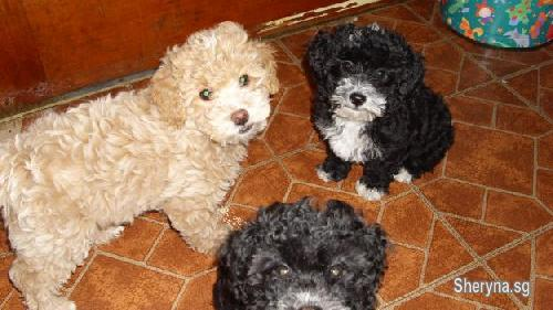 Pure Breed Toy Poodle Puppies For Sale Pets For Sale In