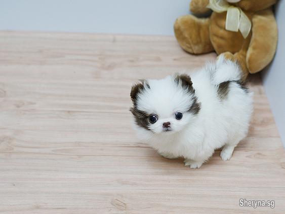 Beautiful Pomeranian Puppies For Sale In Kelatan Pets